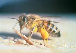 アフリカナイズドミツバチ