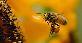 世界中でハチが激減。ついにドローン現る